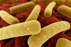 Clostridium_difficile