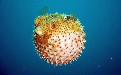 pesce-palla-02
